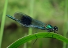 001-017-banded-demoiselle-july-2011