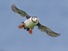 20-347-farnes-puffin-sept-open
