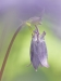 sweet-columbine-aquilegia-vulgaris