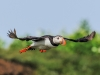 11-atlantic-puffin-fratercula-arctica