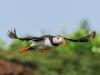 11-atlantic-puffin-fratercula-arctica