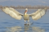 6-dalmation_pelican_landing