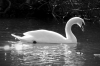 9-dawn-pickering-swan-1