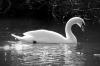 9-dawn-pickering-swan-1