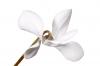 Cyclemen hederifolium Album