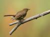 2nd Juvenile Robin
