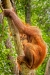 3rd Applied - Peter Wells - Pongo Pygmaeus (Bornean Orangutan)