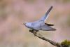 3rd Place Digital - Male Cuckoo Displaying - John Gardner
