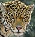Highly Commended Print - Leopard - Glen Shute
