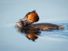 Great Crested Grebe With Perch