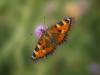 tortoise-shell-butterfly-71739b19b036210130fd71e505cd8c77a2569b3b