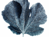 2nd, fig leaf.keith barras.print
