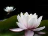 1st - Water Lily - David Kershaw