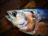 freshly-caught-mackerel-for-tea-b75cf4e30926a14696dc2d99aef500cf179602c2
