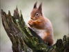 06 Red squirrel