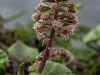 3rd Place Butterbur (Petasites hybridus) By Sally Sallett