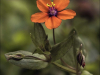 Commended Scarlet Pimpernel - Anagallis arvensis By David Kershaw