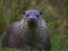 Commended Mr Otter By Liz Beattie