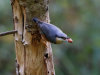 Commended nuthatch By John Mynard