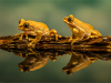 Commended Peacock Tree Frogs By Michelle Howell