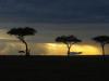 Acacia Trees at Dusk