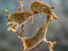 Applied- 2nd Place Harvest Mice on Catkins By Michelle Howell