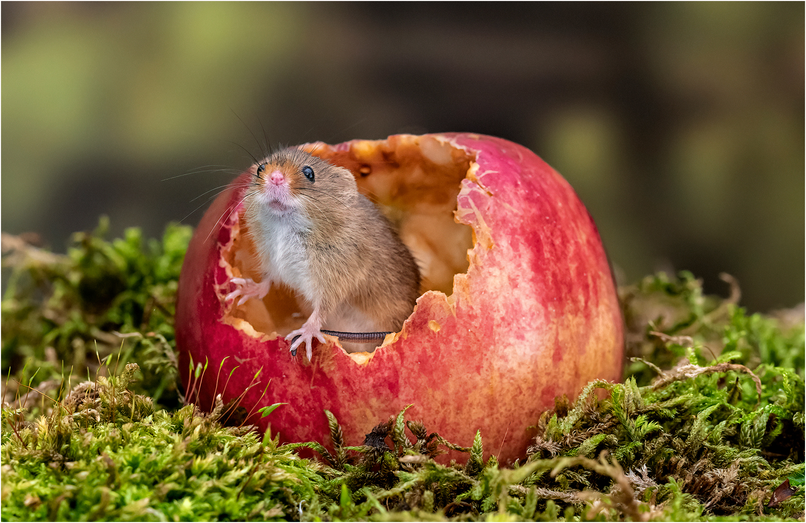 Applied Commended  - harvest Mouse with Apple By Michelle Howell .