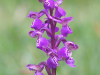 2nd Digital - Green Winged Orchid Anacamptis Morio - Roger Gaynor