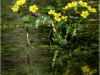 3rd Digital - Caltha Palustris - David Kershaw