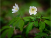 Commended Digital- Wood Anemone - Nigel Hazell