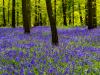 Highly Commended Digital - Bluebells - Robert Bilton