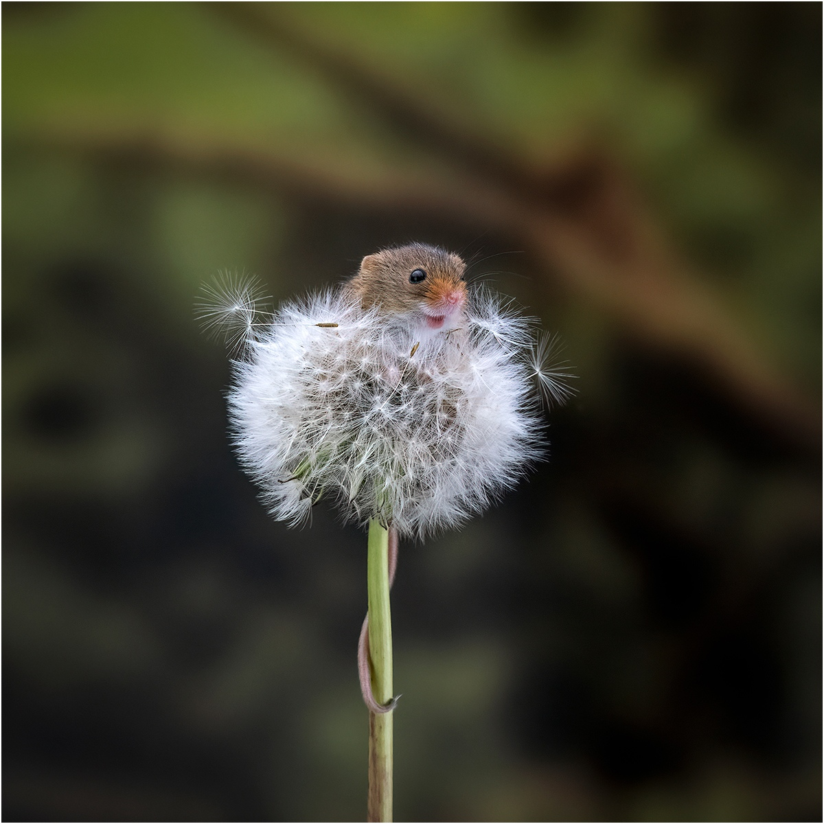 2nd - Harvest Mouse emerging from Dandelion - Michelle Howell