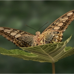 Highly Commended - Clipper Butterfly - Peter Wells