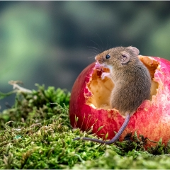 Highly Commended - Harvest Mouse inside Apple - Michelle-Howell