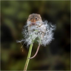 Applied-3rd-Harvest-Mouse-eating-dandelion-seeds-By-Michelle-Howell-