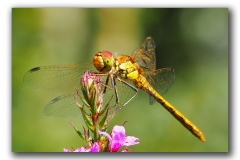 Highly commended - Common Darter - Neil Clarke