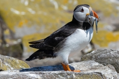 Highly commended - Puffin - Robert Bilton