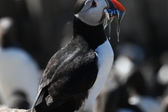 Puffins Dinner - Sue Myers