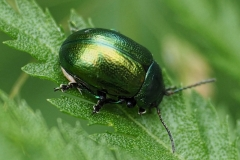 Tansy Beetle - Sally Sallett