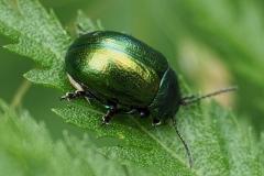 Tansy Beetle - Sally Sallett