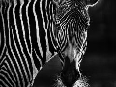 Prints Highly Commended Zebra By Nigel Hazell