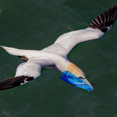 Digital-Highly-Commended-Gannet-with-Plastic-Bag-By-Patrick-Maloney
