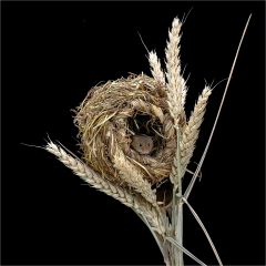 Prints-1st-Place-Harvest-Mouse-in-nest-By-Michelle-Howell