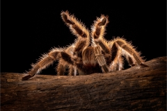 Prints-Commended-Chilean-Rose-Tarantula-By-Paul-Wagstaff