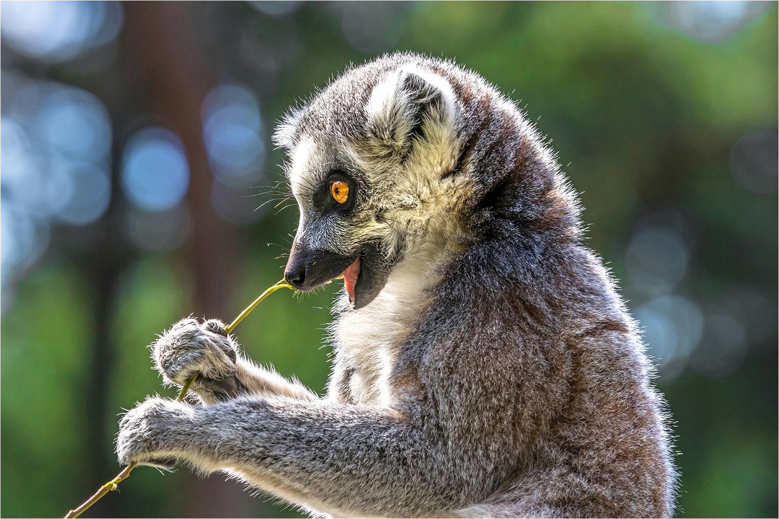 Highly Commended Print - Lemur - Neil Clarke
