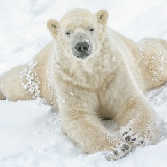 Polar Bear Just Chilling