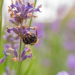 Bee On Lavendar_by_Crutchley-Rhodes, Angela