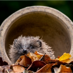 Commended_Hedgehog In Plant Pot_by_Howell, Michelle