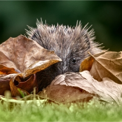 Hedgehog Peeping Through Leaves_by_Howell, Michelle