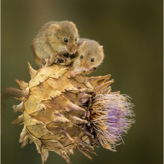 Highly Commended_Harvest Mice On Thistle_by_Wells, Peter